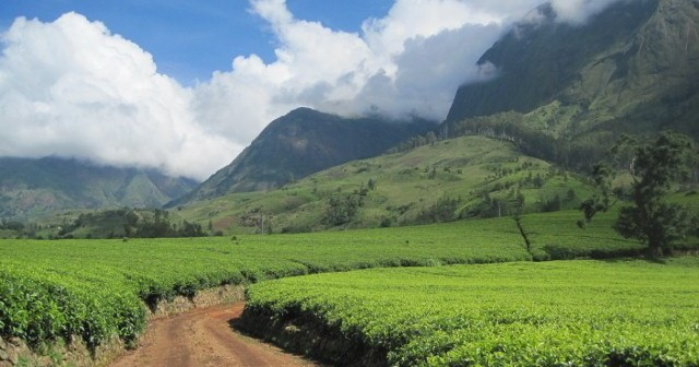Tea estates with mulanje mountain in the background